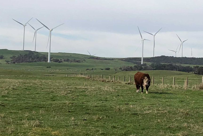 A cow standing in front of a wind farm near Tarwin Lower.