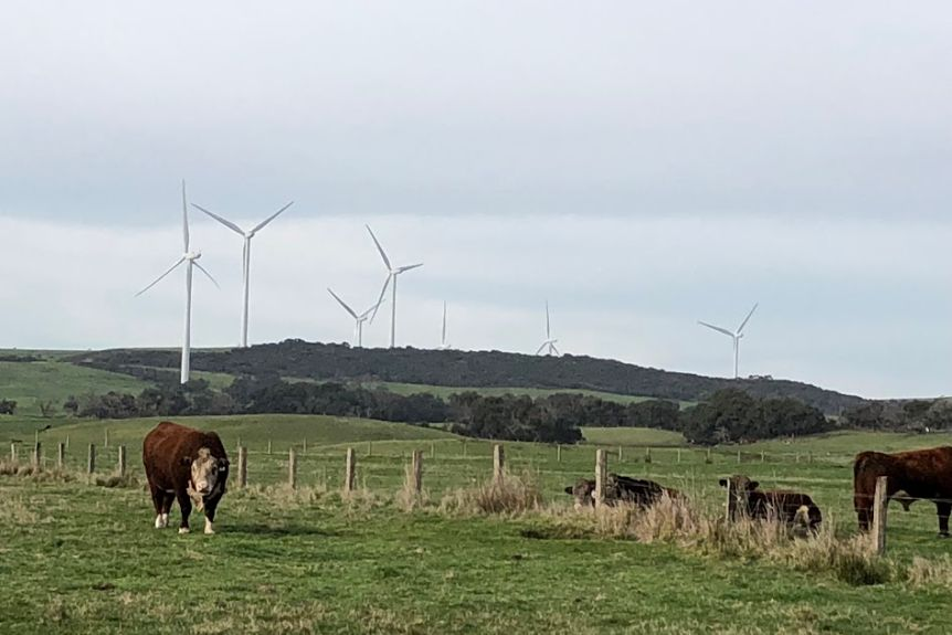 Three cows rest on grass in front of wind turbines