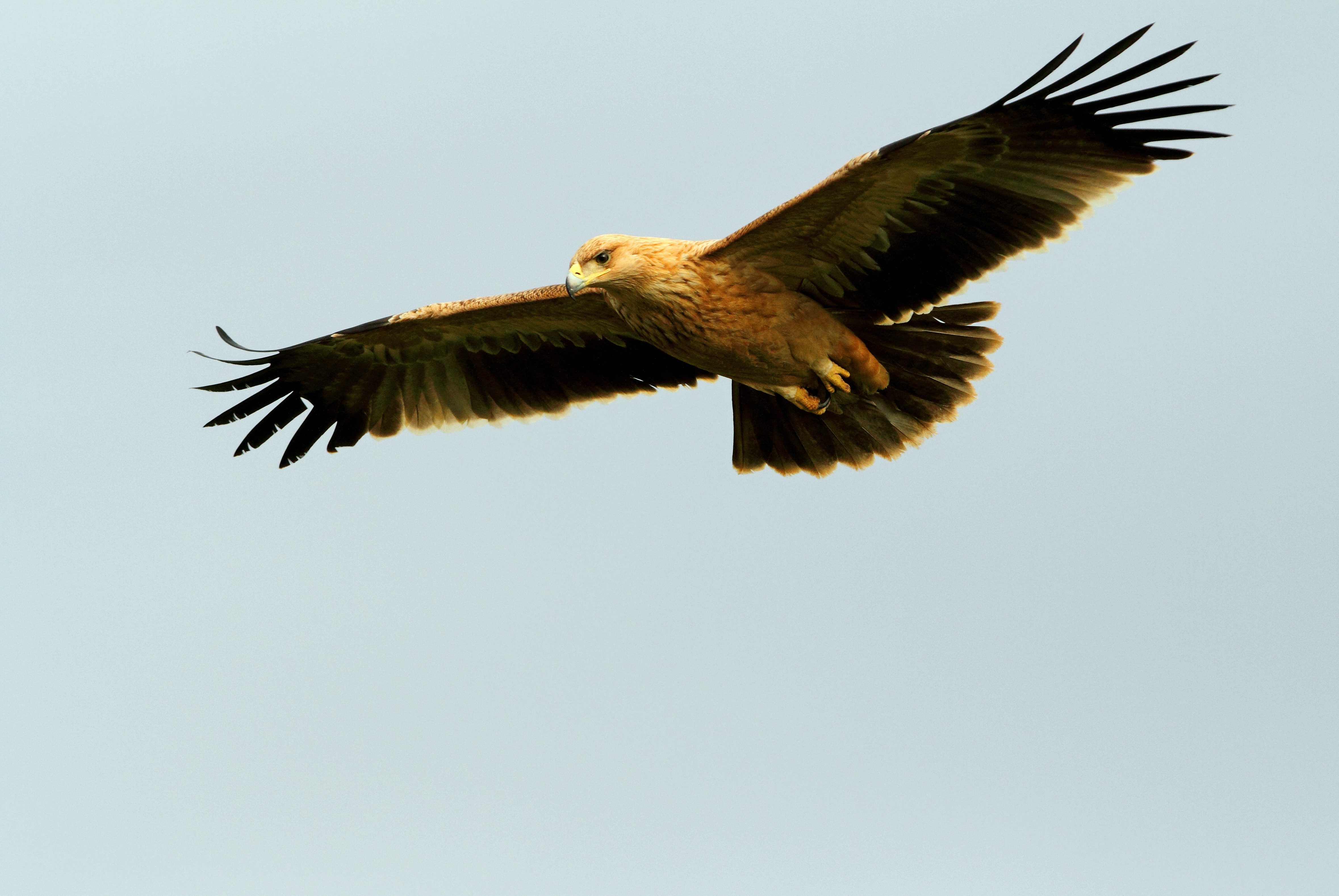 A spanish eagle soars in the sky.